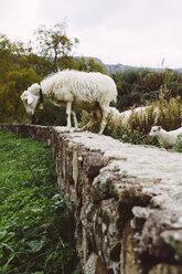 Italy, Sardinia, Alghero, Sheep on stone wall - MBEF001038
