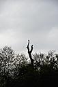 Buzzard, Buteo, sitting on a dead tree - AX000700