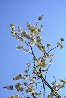 Blossoms of a cherry tree in front of blue sky - AXF000703