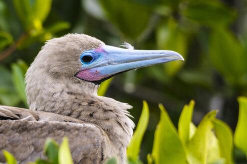 Ecuador, Galapagos, Genovesa, Red-footed Booby ,Sula sula - CB000336