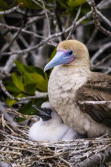Ecuador, Galapagos, Genovesa, Red-footed Booby ,Sula sula, in nest - CB000337