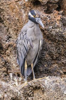 Ecuador, Galapagos, Genovesa, Yellow-crowned night heron, Nyctanassa violacea - CB000342