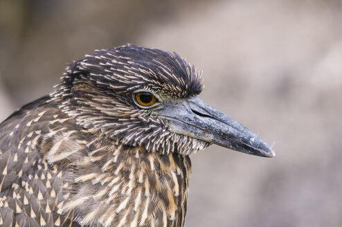 Ecuador, Galapagos, Genovesa, Lava heron, Butorides sundevalli - CB000344