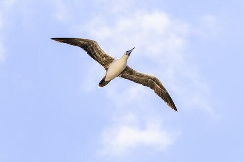 Ecuador, Galapagos, Genovesa, Red-footed Booby ,Sula sula, flying - CB000353