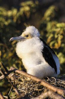 Ecuador, Galapagos, Genovesa,Young magnificent frigatebird, Fregata magnificens - CB000366