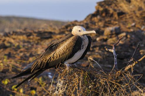 Ecuador, Galapagos, Genovesa, Magnificent frigatebird, Fregata magnificens - CB000372