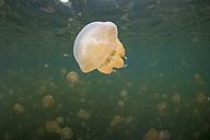 Oceania, Palau, Eik Malk, Spotted jellyfish, mastigias papua, in saltwater lake - JWAF000099