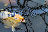Koi, Cyprinus carpio, in a pond gasping for air - JFEF000438