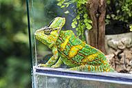 Chameleon, Chamaeleonidae, sitting in terrarium - JFEF000439