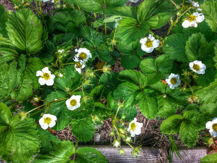 Blooming Garden strawberry (Fragaria × ananassa), Waldenburg Germany - ALF000165