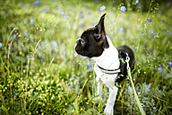 Germany, Rhineland-Palatinate, Boston Terrier, Puppy standing on meadow - NIF000018