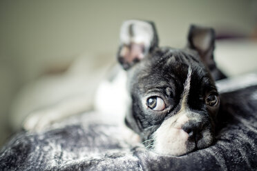 Germany, Rhineland-Palatinate, Boston Terrier, Puppy lying - NIF000019
