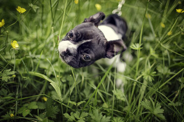 Germany, Rhineland-Palatinate, Boston Terrier, Puppy - NIF000016