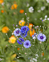 Cornflowers, Centaurea Cyanus, on a meadow - HLF000617