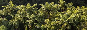 New Zealand, South Island, Marlborough Sounds, Tennyson Inlet, fern trees - SHF001562