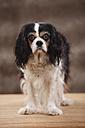Portrait of Cavalier King Charles spaniel, studio shot - HTF000479
