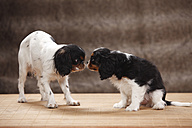Two Cavalier King Charles spaniel snuffing at each other, studio shot - HTF000483