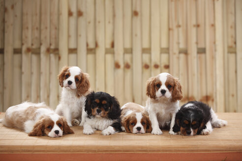 Row of six Cavalier King Charles spaniel puppies, studio shot - HTF000485