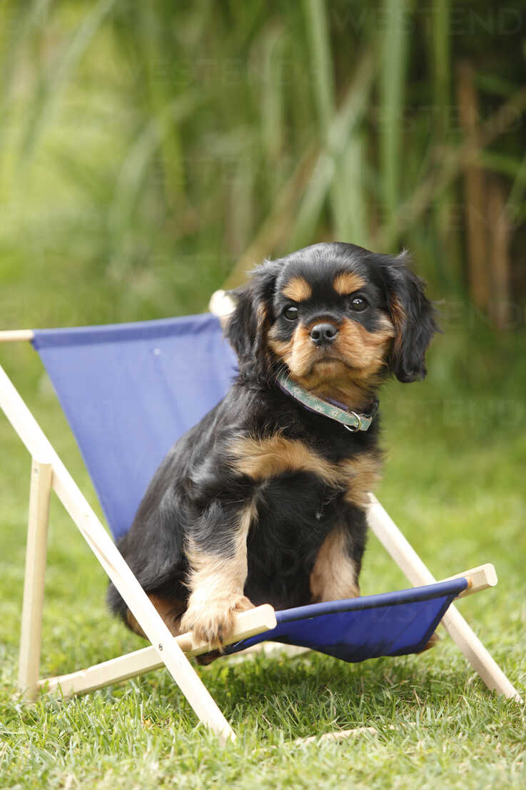 Cavalier King Charles Spaniel Puppy Sitting In Miniature Deck Chair On A Meadow Htf000474 Peewee Westend61