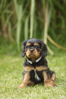 Cavalier King Charles spaniel puppy sitting on a meadow - HTF000475