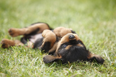 Cavalier King Charles spaniel puppy lying on back on a meadow - HTF000477