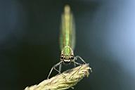 Banded demoiselle, Calopteryx splendens, on spike - MJOF000536