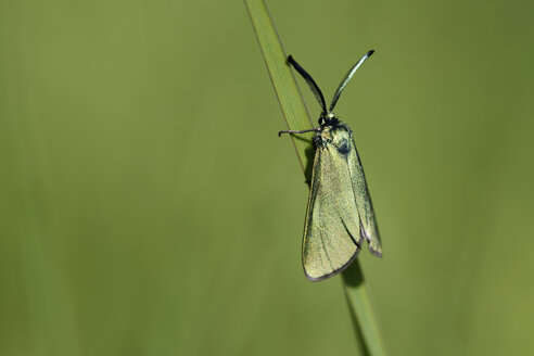 Green Forester, Adscita statices, hanging on blade of grass - MJOF000544