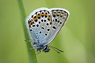 Silver-studded Blue, Plebejus argus, hanging on blade of grass - MJOF000546