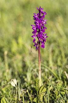 Germany, Hesse, Nature park Meissner, Early Purple Orchid, Orchis mascula - SRF000618