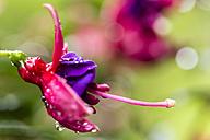 Germany, Fuldabruck, Fuchsia, close up - SRF000621