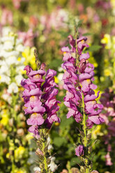 Germany, Kassel, Antirrhinum majus, common snapdragon, close up - SRF000635