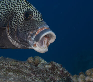 Oceania, Palau, harlequin sweetlip, Plectorhinchus chaetodonoides, with opened mouth, partial view - JWAF000146