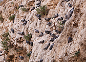 Turkey, Anatolia, Sanliurfa, Pidgeons sitting on rock face - SIEF005631