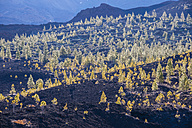 Spain, Canary Islands, Tenerife, View from Mirador de Chio, Teide National Park, Canary Island Pines, Pinus canariensis - WGF000375