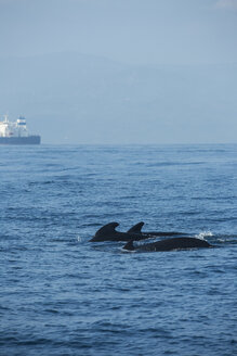 Spain, Andalusia, Long-finned pilot whales, Globicephala melas, Cargo ship in the background - KBF000061