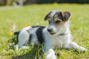 Jack Russel Terrier puppy in garden - MJF001307