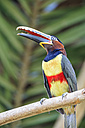 Brazil, Mato Grosso, Mato grosso do Sul, Pantanal, chestnut-eared aracari, Pteroglossus castanotis - FOF006595