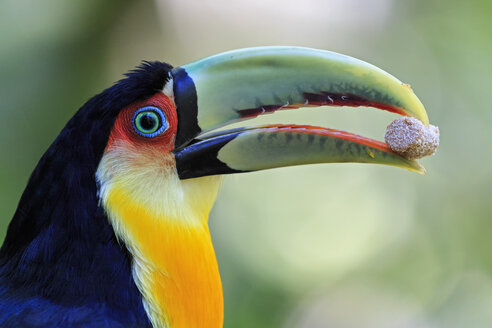 Brazil, Mato Grosso, Mato grosso do Sul, portrait of green-billed toucan, Ramphastos dicolorus - FOF006606