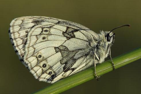 England, Marbled White, Melanargia galathea - MJOF000551