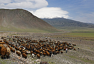 Turkey, Eastern Anatolia, Agri Province, Mount Ararat, Herd of sheep - SIE005642