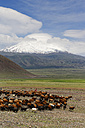Turkey, Eastern Anatolia, Agri Province, Mount Ararat, Herd of sheep - SIE005644