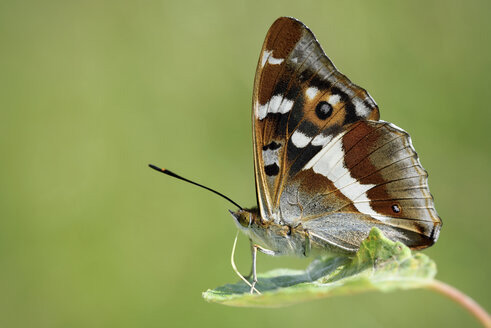 Purple Emperor, Apatura iris, sitting on leaf in front of green background - MJOF000571