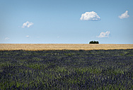 France, Provence, Valensole Plateau, Lavender field, Lavandula and wheat field, Triticum - MKFF000003