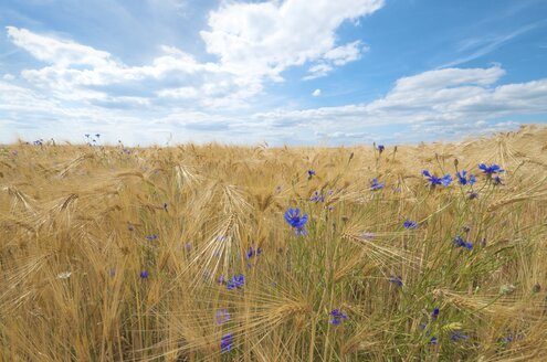 Barley field and cornflowers in front of cloudy sky - MHF000320