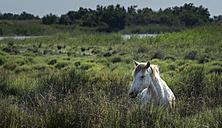 France, Camargue, Camargue horse in high grass - MKFF000015