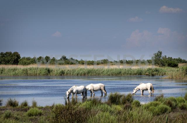 France, Camargue, Camargue horses in water - MKFF000017 - Markus Kapferer/Westend61