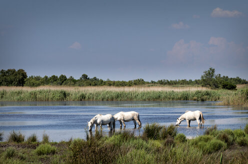 France, Camargue, Camargue horses in water - MKFF000017