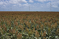 USA, Texas, field of young corn plants with wind turbines in the background - ABAF001432