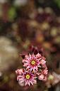 Germany, Common houseleek, Sempervivum tectorum, Flower - MYF000490