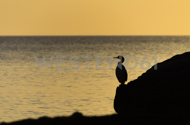 Spain, Balearic Islands, Menorca, European Shag, Phalacrocorax aristotelis, standing on a rock in front of the sea - SMAF000232